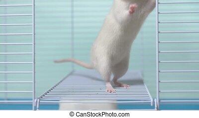 zwierzę, cage., pet., symbol, rok, biały, calendar., szczur,...