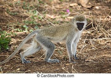 zwierzęta, 083, małpa