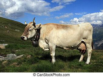 zwitsers, koe