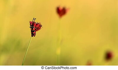 Zygaena insect on the flower