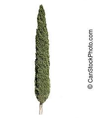 zypressenbaum